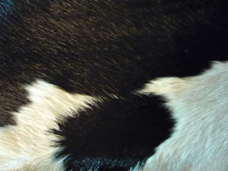 peau de vache enti re naturelle noir et blanc par santelmo le sp cialiste du tapis en peau. Black Bedroom Furniture Sets. Home Design Ideas